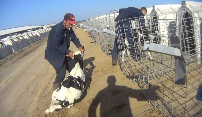 """Sự thật kinh hoàng tại trang trại bò sữa """"hạnh phúc"""" ở Mỹ.7"""
