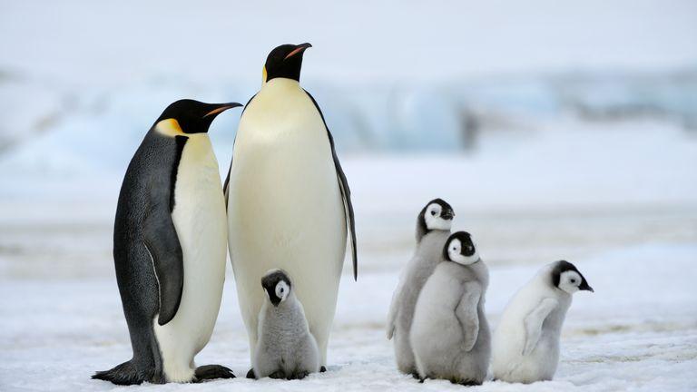 Đầu, cánh, chân và bàn chân của chim cánh cụt hoàng đế đều nhỏ, giúp hạn chế sự thoát nhiệt trên cơ thể. (Ảnh qua Axios)