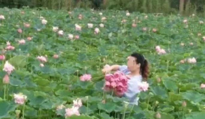 Hình ảnh người dân hái trộm hoa sen ở công viên Long Kiều khiến nhiều người bức xúc. Ảnh: