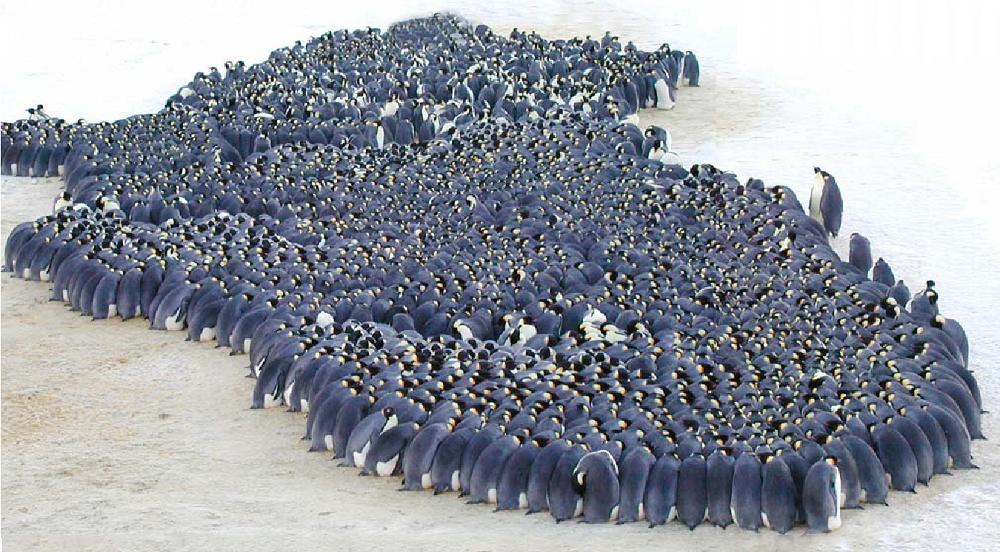 Khi trời quá lạnh, chim cánh cụt hoàng đế sẽ tụm lại gần nhau thành những nhóm lớn lên đến hàng ngàn con. (Ảnh qua Semantic Scholar)