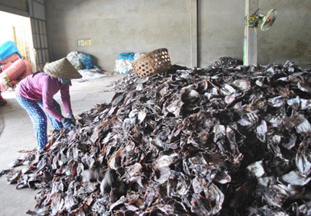Quảng Ngãi: Hàng ngàn tấn mực ứ đọng do TQ ngừng thu mua.2