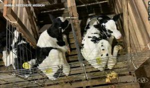 Mỗi con sống trong một cái chuồng chật hẹp. (Ảnh qua ABC7 Chicago)