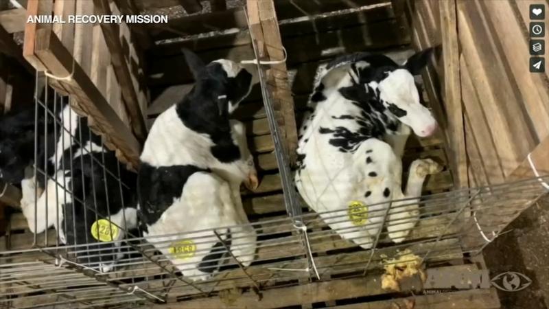 """Sự thật kinh hoàng tại trang trại bò sữa """"hạnh phúc"""" ở Mỹ.4"""