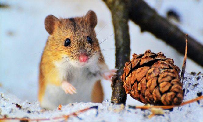 Ly kỳ chuột tiên tri: Mỗi lần đàn chuột qua đường là một người tử nạn.2