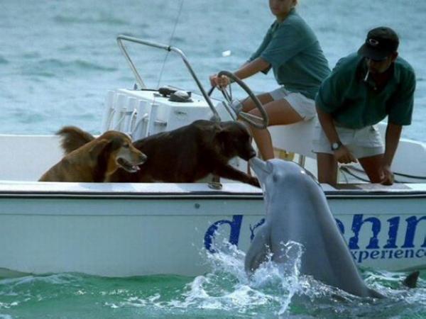 Suýt chết đuối ngoài biển, chú chó may mắn được cá heo giải cứu đưa vào bờ.3
