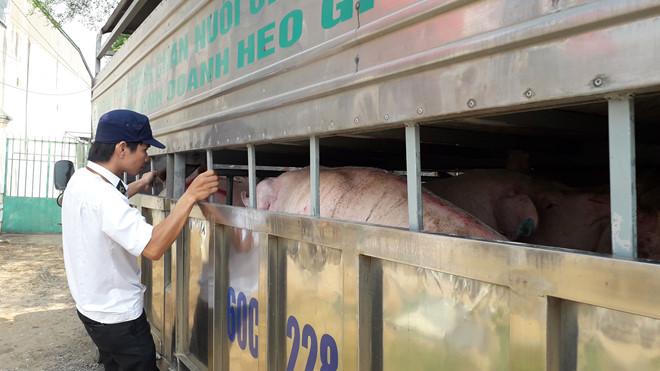 Đình chỉ cán bộ thú y cấp giấy phép 'lụi' cho heo nhiễm dịch tả Châu Phi qua trạm