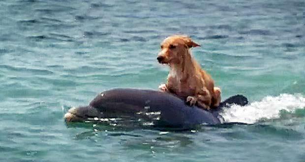 Suýt chết đuối ngoài biển, chú chó may mắn được cá heo giải cứu đưa vào bờ.2