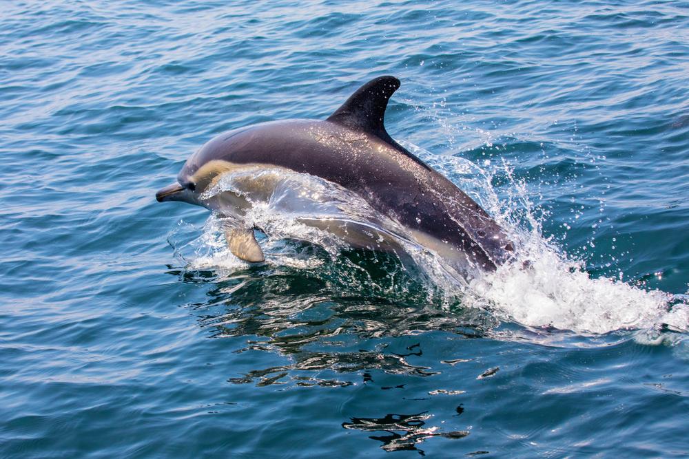 Suýt chết đuối ngoài biển, chú chó may mắn được cá heo giải cứu đưa vào bờ.1