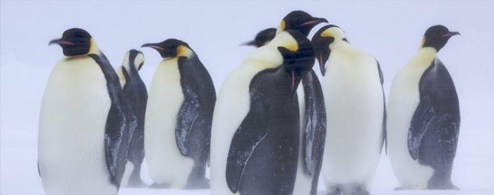 Chim cánh cụt làm thế nào để giữ ấm trong cái lạnh cắt da cắt thịt ở Nam Cực?.1