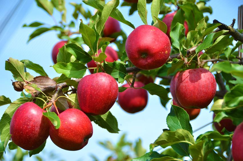 Táo là một trong những thực phẩm giàu dinh dưỡng và vitamin. (Ảnh qua .zawieja-sad.pl)