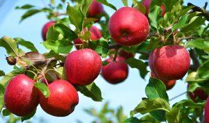 Vì sao bạn nên ăn táo thường xuyên hơn?