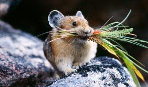 Ly kỳ chuột tiên tri: Mỗi lần đàn chuột qua đường là một người tử nạn