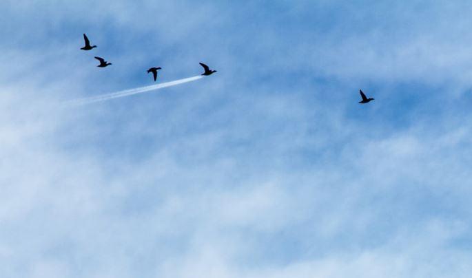 Chim phản lực.