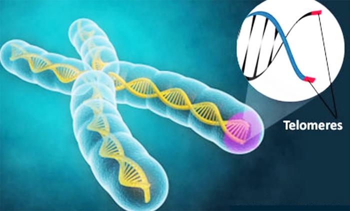 DNA trực tiếp quyết định tuổi thọ của con người, và độ dài ngắn của telomere là yếu tố quan trọng quyết tuổi thọ.