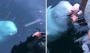 Cá voi trắng đáng yêu 'nhặt' được của rơi trả lại cho người mất