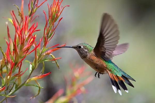 Hình ảnh những bông hoa màu xanh nhỏ xinh làm ngươi ta liên tưởng đến những chú chim ruồi đáng yêu. (Ảnh qua)