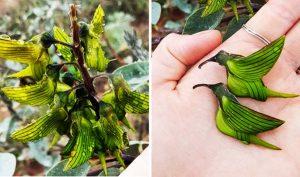 Loài hoa có cánh như chim ruồi đang hút mật, tuyệt tác của tạo hoá!