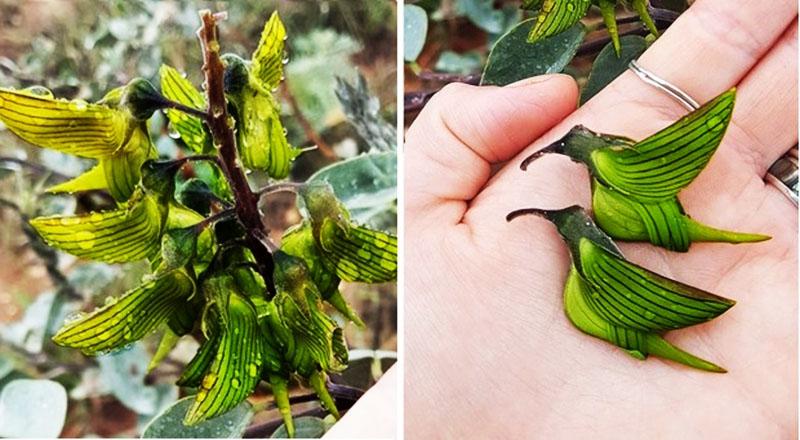 Loài hoa độc đáo có hình dạng giống hệt những chú chim ruồi đang cắm đầu vào hút mật hoa. (Ảnh qua brightside)