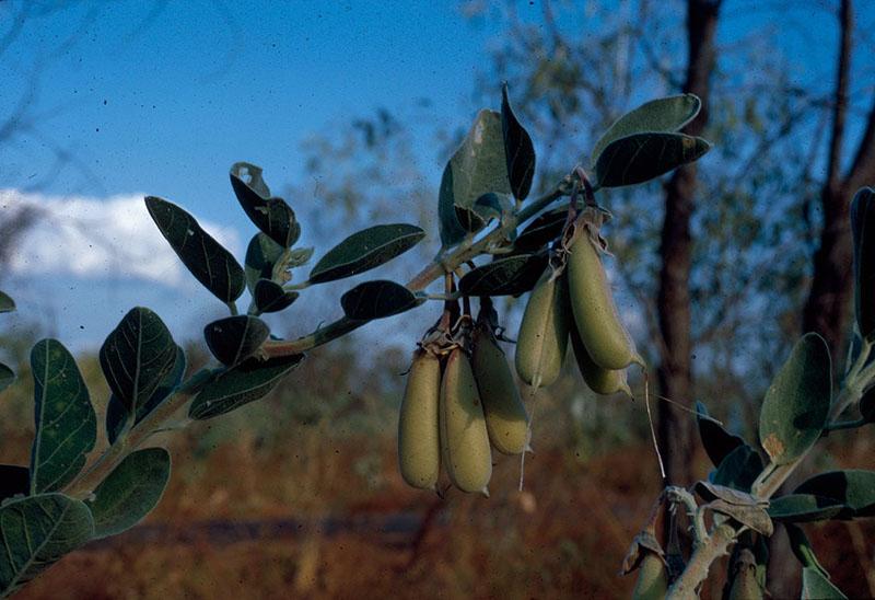 Hiện vẫn chưa rõ hoa, quả và hạt của hoa chim xanh có ăn được hay không. (Ảnh qua wetlandinfo)