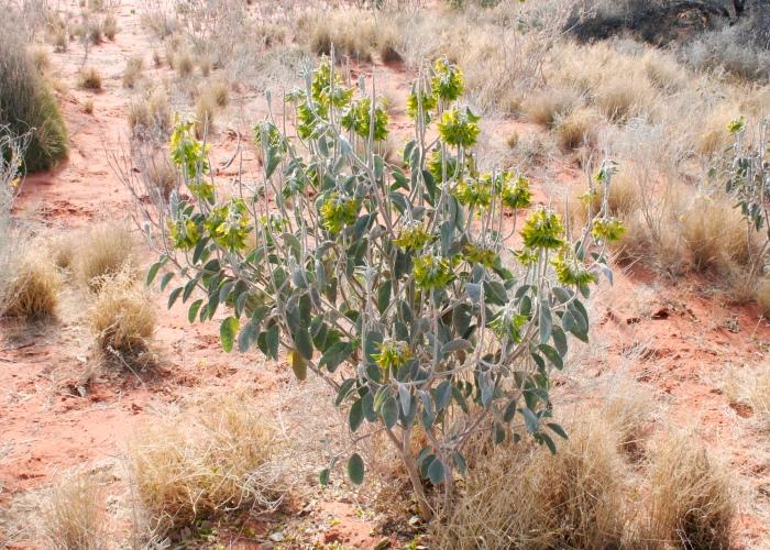 Hoa chim xanh thường mọc ở những cồn cát hoặc dọc theo các bãi biển.