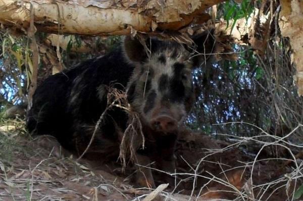 Chú lợn nghịch ngợm bơi ra giữa sông tắm mát trước khi tìm đến một bụi cây cạnh con sông này và đánh một giấc. (Ảnh qua moon-child)