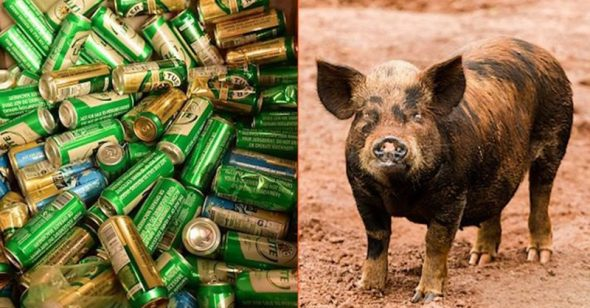Uống hết 18 lon bia, chú lợn hoang say xỉn đi tìm bò gây sự