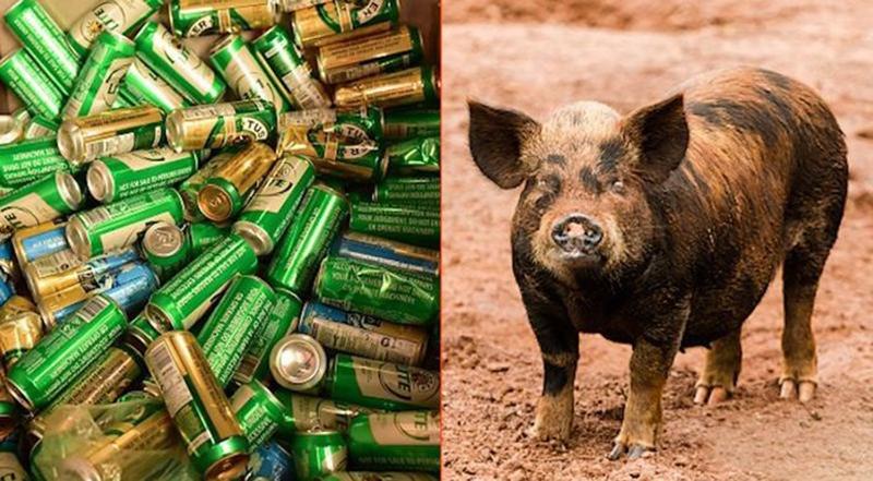Chú lợn uống hết 18 lon bia, say xỉn, rồi tìm bò gây sự.