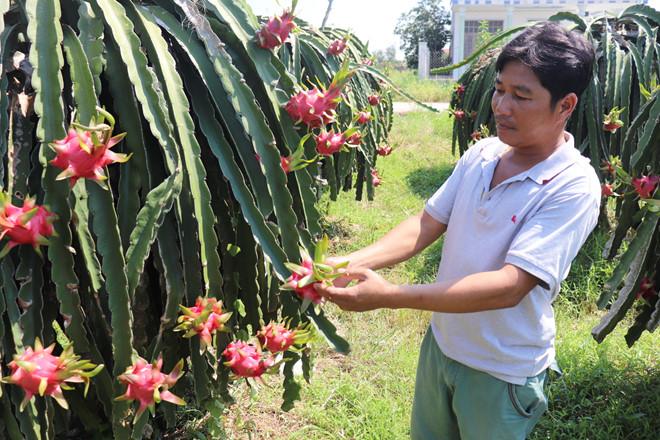 Bình Thuận hiện có 30.000 ha thanh long, trong đó có 11.000 ha trồng theo tiêu chuẩn VietGAP, mỗi năm thu trên 600.000 tấn quả. (Ảnh qua thanhnien)