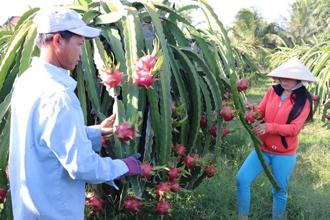 Nông dân trồng thanh long ở Hàm Thuận Nam, thủ phủ thanh long của cả nước. (Ảnh qua thanhnien)