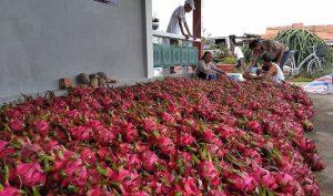 Hàng Trăm container chở thanh long của Việt Nam bị Trung Quốc cấm qua biên giới