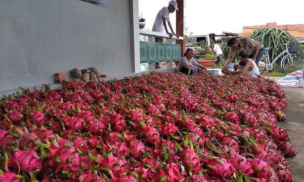 Theo thống kê của Cục Bảo vệ Thực vật (Bộ NN-PTNT), năm 2017, Việt Nam xuất khẩu 1,3 triệu tấn thanh long quả tươi sang thị trường Trung Quốc. (Ảnh qua vietnammoi)