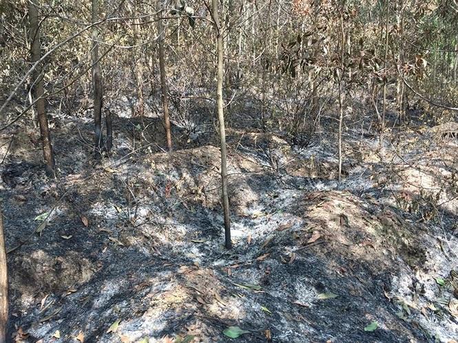Rừng keo 3 năm tuổi của ông Anh bị đốt cháy rụi. (Ảnh qua TP)