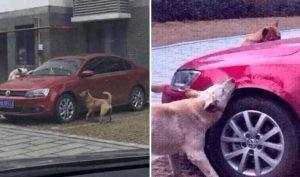 Đang ngủ ngon bị tài xế đá đít, chó hoang tức giận gọi đồng bọn đến 'cắn nát' xe