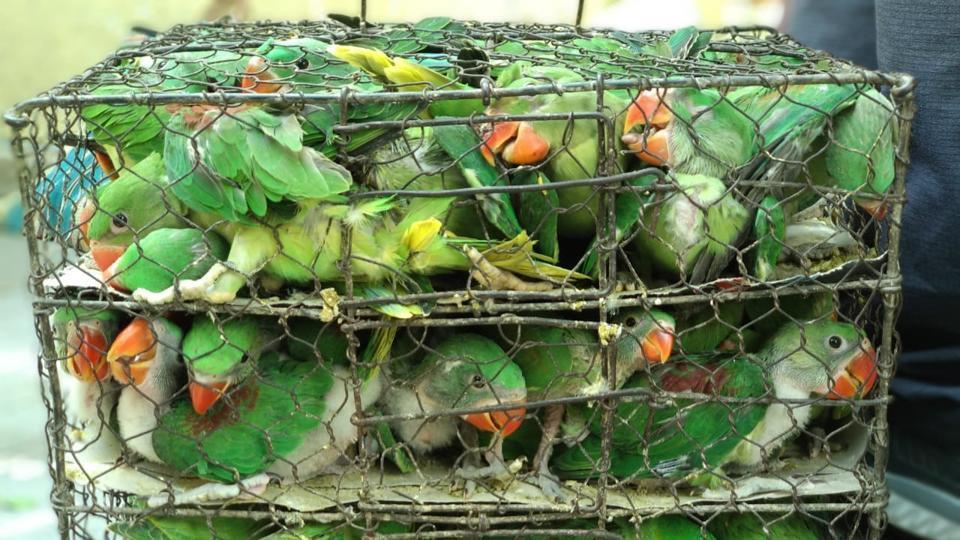 Những con chim quý thường được nhét vào các hộp nhỏ hoặc trong một cái lồng trước khi được vận chuyển mà không được cung cấp thức ăn hoặc nước uống trong vài ngày
