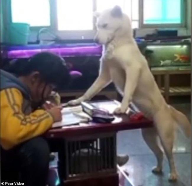 Chú chó khác Mongjel đangc anh cho cô chủ học.
