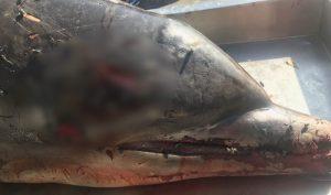 Mỹ treo thưởng 38.000 USD cho ai biết hung thủ sát hại cá heo