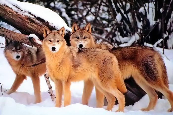 Đàn sói mắt đỏ rực, hăng hái gào thét lao về phía đồ ăn, há miệng thật lớn mà cắn xé thức ăn, đồ vừa ném ra chỉ chớp mắt là đã hết sạch.