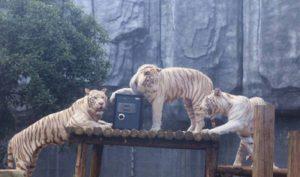 Trung Quốc: Sở thú mở dịch vụ giữ giấy đăng ký kết hôn trong chuồng hổ