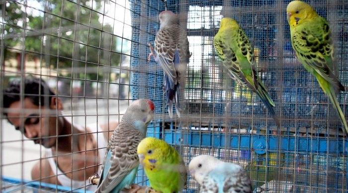 Ấn Độ, việc buôn bán chim thú cưng đang là một vấn nạn gây nhức nhối.