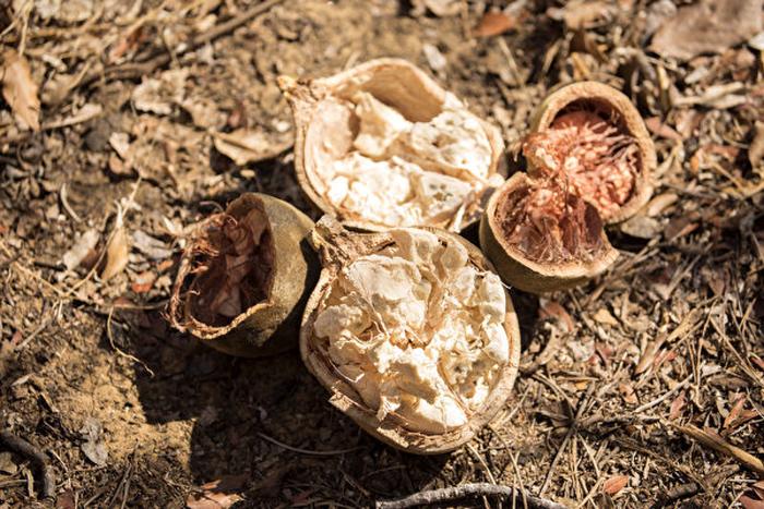 Quả Bao báp có vỏ cứng như quả dừa, dễ tách ra và để lộ phần thịt trắng.