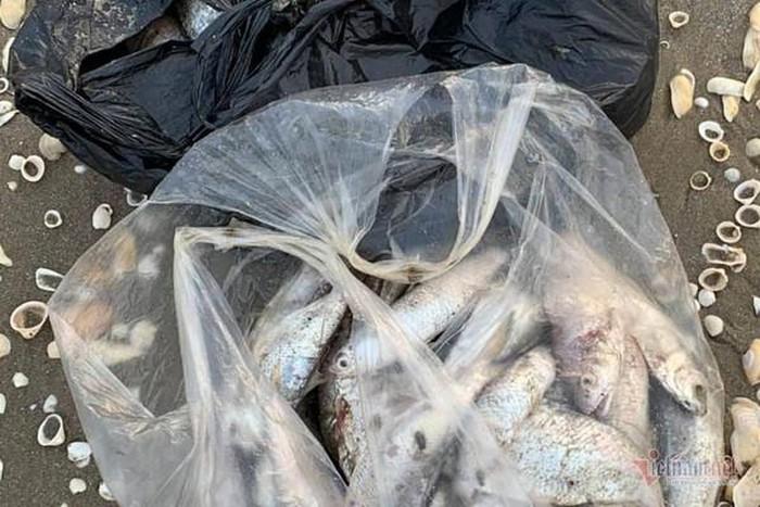 Cá nóc, cá trích chết được thu gom để xử lí.