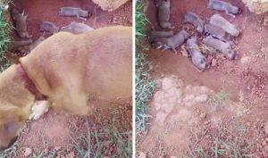 Bị chủ nhân hắt hủi, chó mẹ đành lặng lẽ đào hố làm nhà cho 9 đứa con