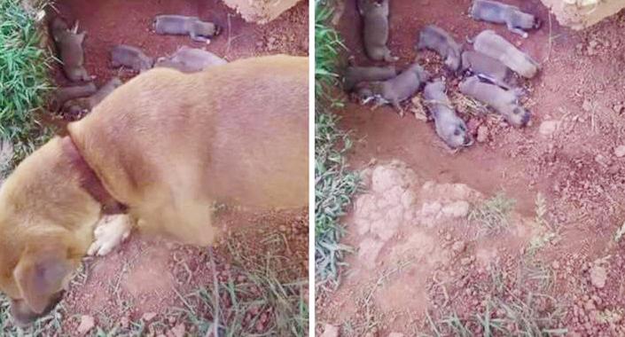 Chó mẹ đào đất giấu 9 đứa con khỏi người chủ cho đến khi được cứu hộ