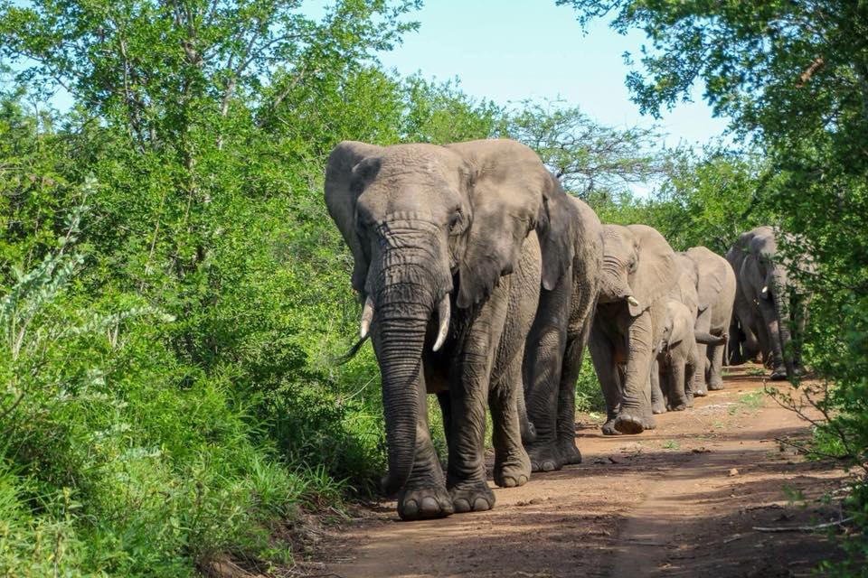 Đàn voi đang đến để chia buồn cùng gia đình ông và thực hiện một nghi thức đám tang để bày tỏ sự đau buồn trước sự ra đi của ân nhân.