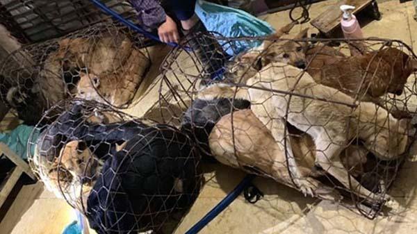 Từ đầu năm 2019 đến nay, các nghi phạm đã trộm cắp hơn 100 tấn chó của người dân. (Ảnh qua vnexpress)