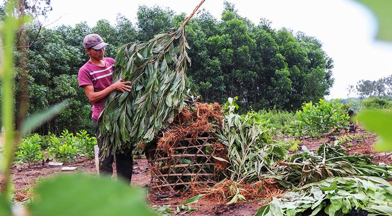 Xã Tam Xuân 2 sẽ bồi thường cho dân mỗi cây keo bị nhổ giá 4.000 đồng. (Ảnh qua Zing)