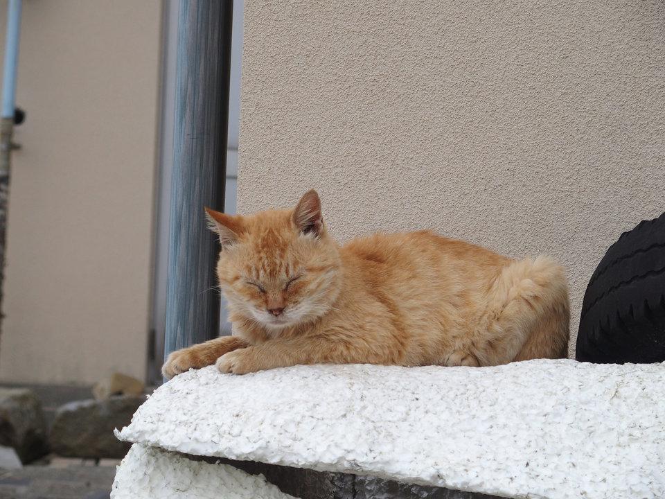 Nhưng hoạt động chính của những chú mèo trên đảo Aoshima là ngủ trưa.