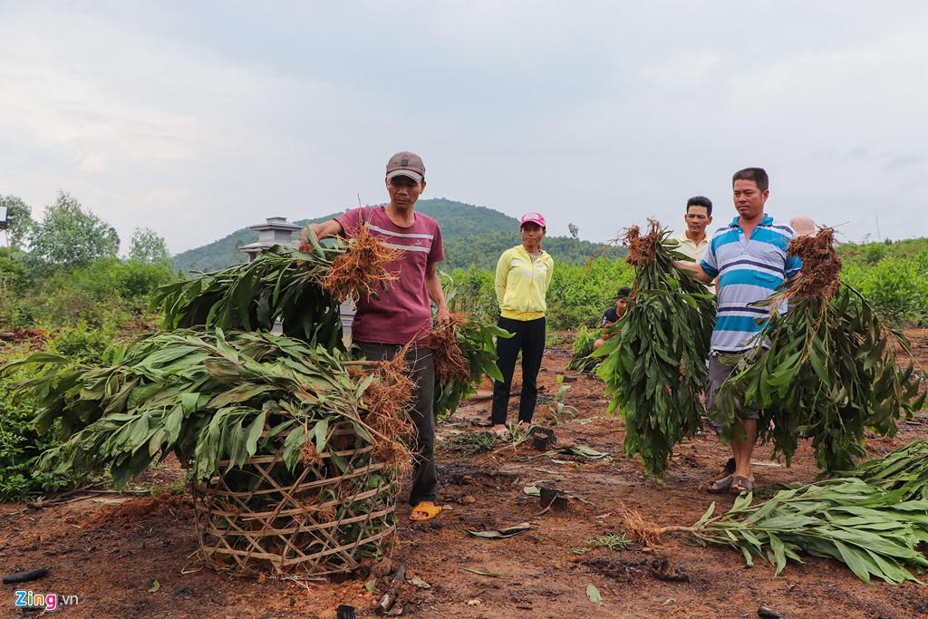 Gần 3.000 cây tràm keo của 4 hộ dân bị chính quyền nhổ bỏ nằm khắp nơi. (Ảnh qua Zing)