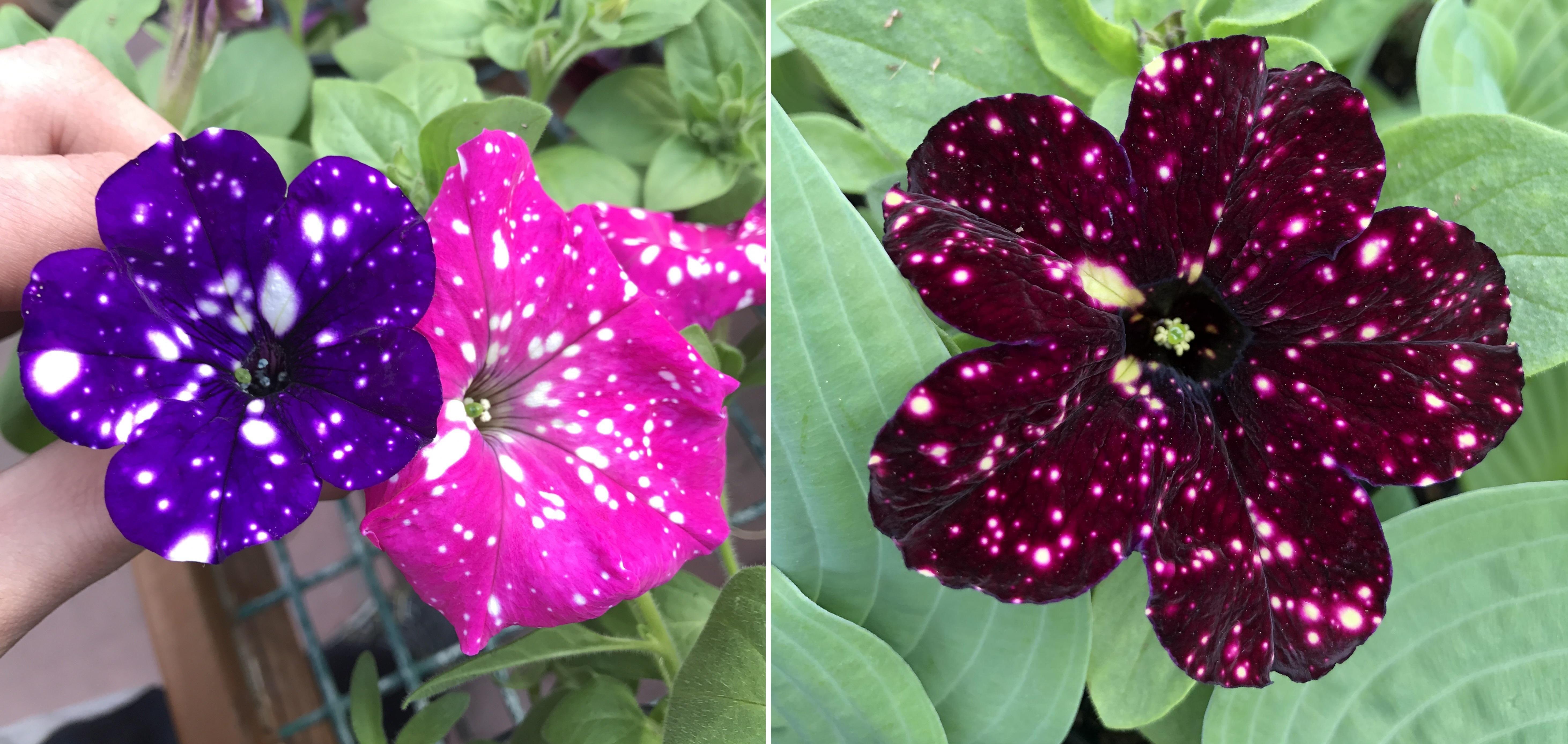 Dạ yến Thảo: Loài hoa mang cả dải ngân hà chứa trong lòng bàn tay