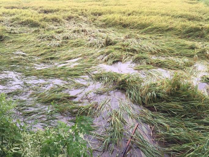 Khoảng 1.700 - 2.000 ha lúa tại Quảng Trị có nguy cơ bị ngập úng, hư hỏng nặng.
